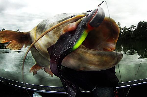Silure sur FENIX ORKA 16cm coloris B